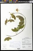view Passiflora amalocarpa Barb. Rodr. digital asset number 1