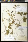 view Passiflora misera Kunth digital asset number 1