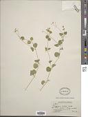 view Drymaria cordata (L.) Willd. ex Schult. digital asset number 1