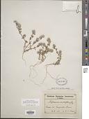 view Polycarpaea sp. digital asset number 1