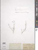 view Spergularia diandra (Guss.) Heldr. digital asset number 1