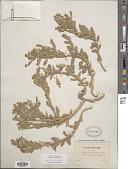 view Silene succulenta Forssk. digital asset number 1