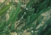 view Caulerpa sertularioides (S.G. Gmel.) M. Howe digital asset number 1