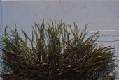 view Gelidiopsis sp. digital asset number 1