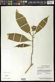 view Palicourea bracteocardia (DC.) Delprete & J.H. Kirkbr. digital asset number 1