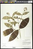 view Palicourea violacea (Aubl.) A. Rich. digital asset number 1