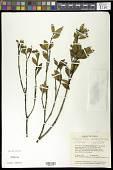 view Palicourea campylopoda (Standl.) Delprete & J.H. Kirkbr. digital asset number 1