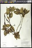 view Palicourea ernestii (K. Krause) Delprete & J.H. Kirkbr. digital asset number 1