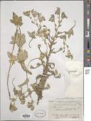 view Aconitum heterophyllum digital asset number 1
