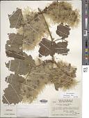 view Clematis grossa Benth. digital asset number 1