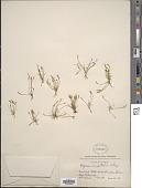 view Myosurus aristatus Benth. digital asset number 1