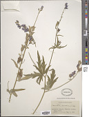 view Aconitum ramosum A. Nelson digital asset number 1