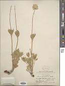 view Anemone globosa (Torr. & A. Gray) Nutt. ex A. Heller digital asset number 1