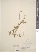 view Ranunculus acriformis digital asset number 1