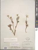 view Ranunculus adoneus A. Gray digital asset number 1