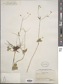 view Ranunculus bongardii Greene digital asset number 1