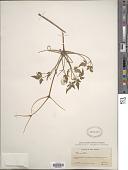 view Atragene pseudoalpina (Kuntze) Rydb. digital asset number 1