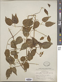 view Clematis columbiana (Nutt.) Torr. & A. Gray digital asset number 1