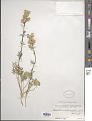 view Aconitum rotundifolium digital asset number 1