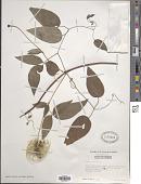 view Clematis viorna L. digital asset number 1