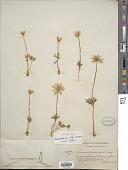 view Anemone caroliniana digital asset number 1