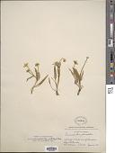view Ranunculus alismaefolius var. hartwegii (Greene) Jeps. digital asset number 1