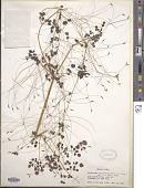 view Thalictrum rhynchocarpum Quart.-Dill. & A. Rich. digital asset number 1