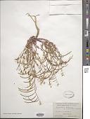 view Streptanthus tortuosus Kellogg digital asset number 1