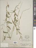 view Caulanthus cooperi (S. Watson) Payson digital asset number 1