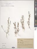view Lepidium nitidum Nutt. digital asset number 1