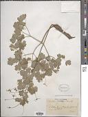 view Thalictrum macrocarpum Gren. digital asset number 1