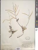 view Streptanthus cordatus Nutt. ex Torr. & A. Gray digital asset number 1