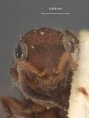 view Sulcomesitius bicolor digital asset number 1