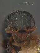 view Rhabdepyris (Lophepyris) bridwelli Evans, 1959 digital asset number 1