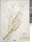 view Lepidium persicum Boiss. digital asset number 1