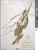 view Brassica juncea (L.) Czern. digital asset number 1