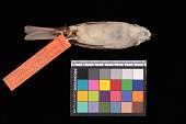 view Spizella passerina arizonae digital asset number 1