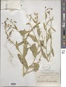 view Lepidium latifolium L. digital asset number 1