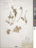 view Coluteocarpus vesicaria subsp. boissieri (Hausskn. ex O.E. Schulz) Hedge digital asset number 1
