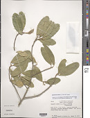 view Capparis indica (L.) Fawc. & Rendle digital asset number 1