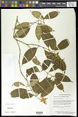 view Palicourea potaroensis (Sandw.) Delprete & J.H. Kirkbr. digital asset number 1