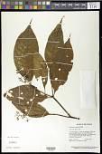 view Palicourea acuminata (Benth.) Borhidi digital asset number 1
