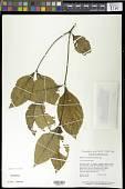 view Palicourea gracilenta (Müll. Arg.) Delprete & J.H. Kirkbr. digital asset number 1