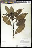 view Palicourea crocochlamys (Sandw.) Delprete & J.H. Kirkbr. digital asset number 1