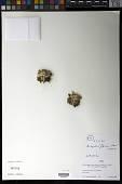 view Misbrookea strigosissima (A. Gray) V.A. Funk digital asset number 1