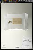 view Werneria pygmaea Gillies ex Hook. & Arn. digital asset number 1