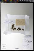 view Werneria cornea S.F. Blake digital asset number 1