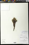 view Xenophyllum dactylophyllum (Sch. Bip.) V.A. Funk digital asset number 1