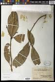 view Magnolia championii Benth. digital asset number 1
