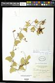 view Passiflora bicornis Houst. ex Mill. digital asset number 1